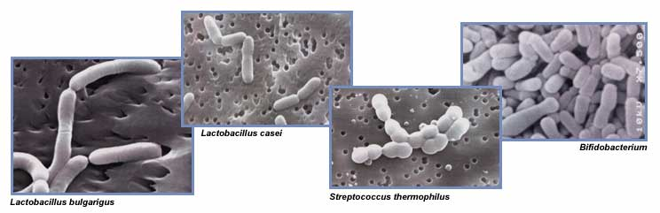 Probiotic Bateria
